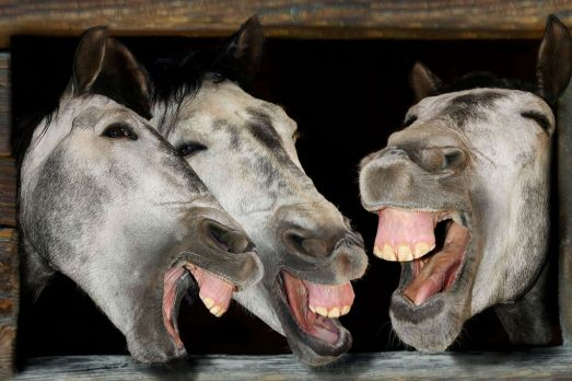 Three horses laughing