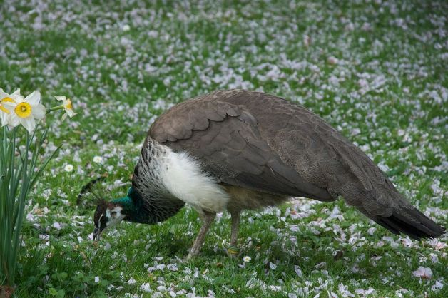 1200px-Pavo_cristatus_-Tierpark_Hagenbeck,_Hamburg,_Germany_-female-8a_(1)